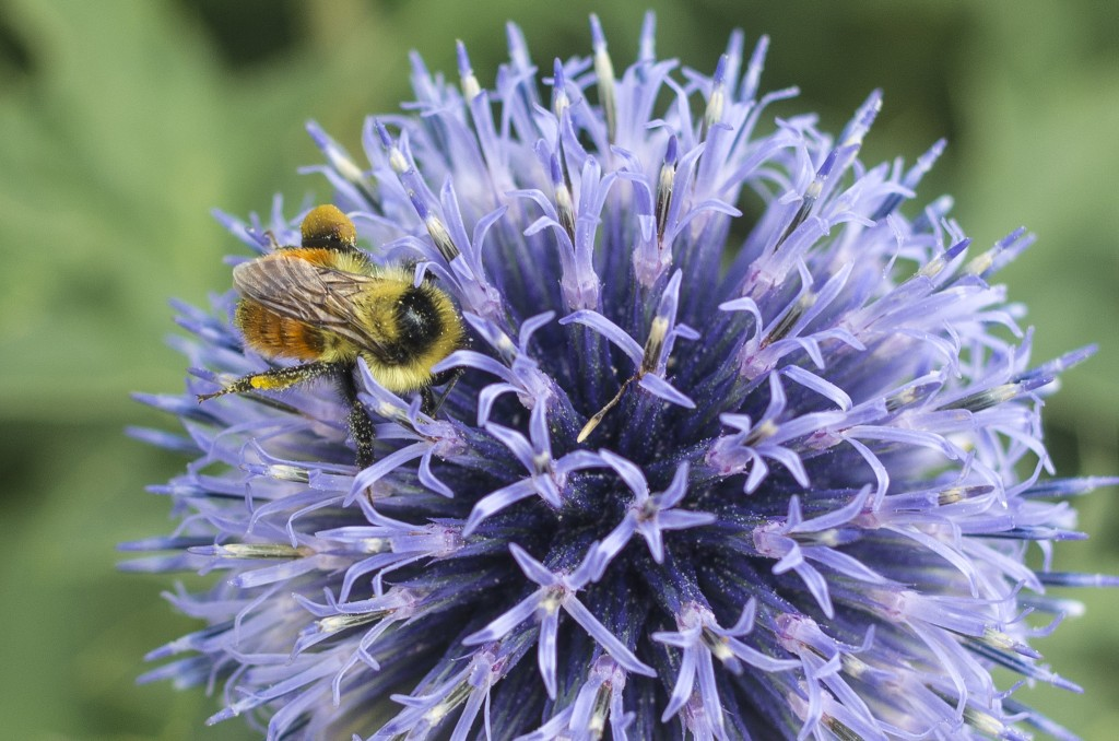 Globe Thistle Bumble Bee